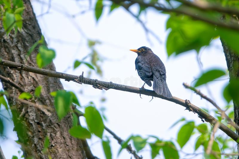 Eurasian Thrush. An Eurasian Thrush stands on branch. Scientific name: Turdus merula royalty free stock photography
