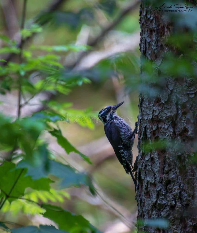 Eurasian tre-toed woodpecke royaltyfri fotografi