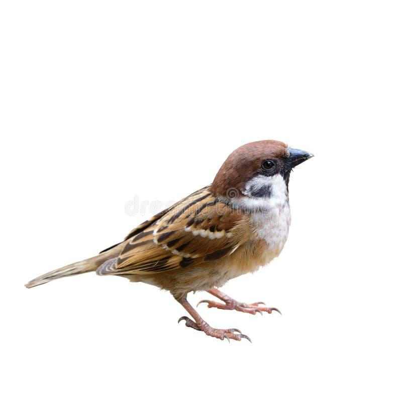 Free Eurasian Tree Sparrow Or Passer Montanus. Stock Photography - 100068472