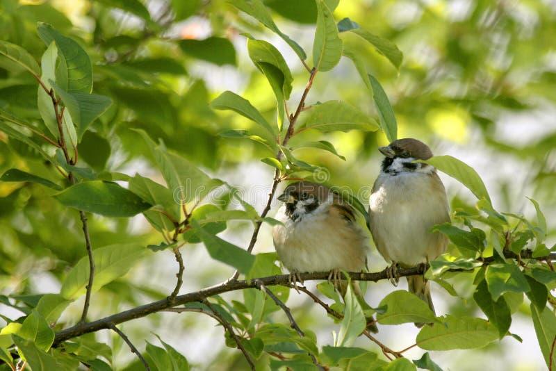 Eurasian Tree Sparrow, Passer montanus stock photography