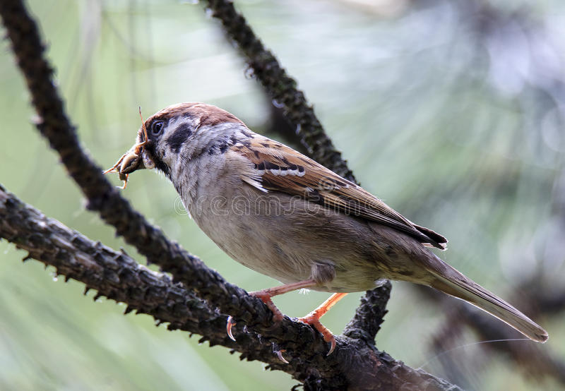 Eurasian tree sparrow (Passer montanus) royalty free stock photo