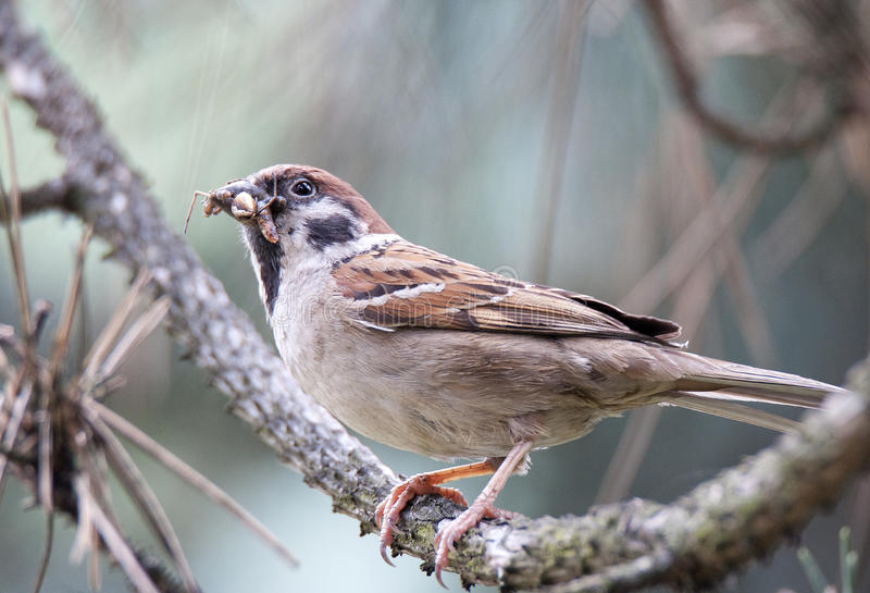 Eurasian tree sparrow (Passer montanus) stock images