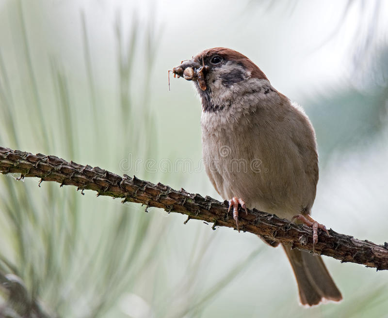 Eurasian tree sparrow (Passer montanus) stock photography