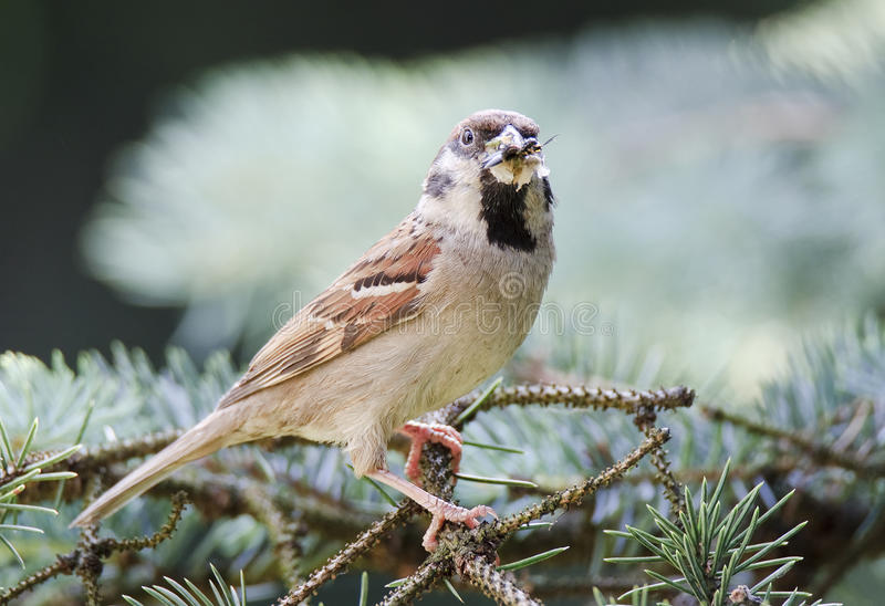 Eurasian tree sparrow (Passer montanus) royalty free stock photos