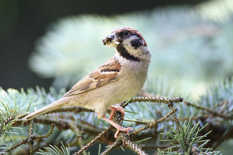 Eurasian tree sparrow (Passer montanus) royalty free stock images
