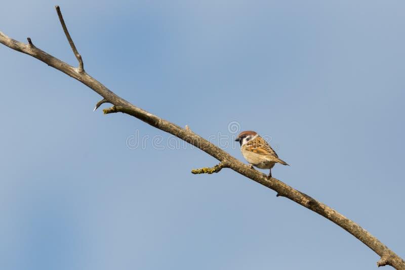 Eurasian tree sparrow passer montanus standing on branch, blue stock photo