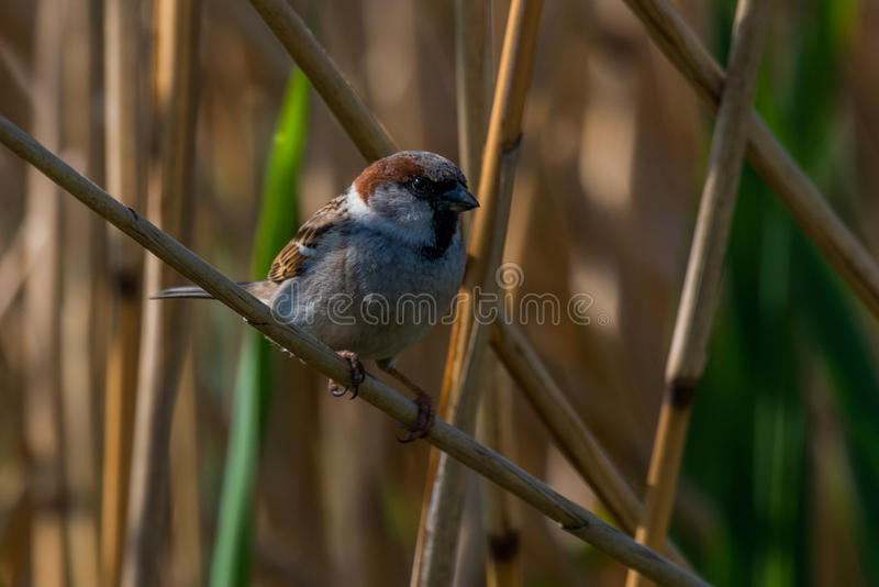 Eurasian tree sparrow. Seat on branch in the reeds Passer montanus royalty free stock photo