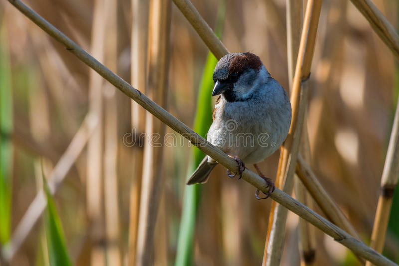 Eurasian tree sparrow. Seat on branch in the reeds Passer montanus stock photography