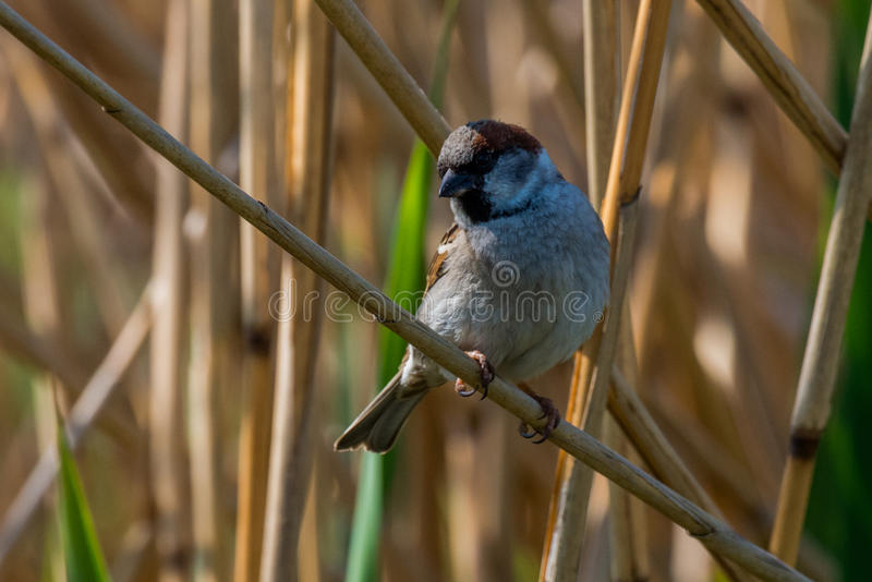 Eurasian tree sparrow. Seat on branch in the reeds Passer montanus stock image