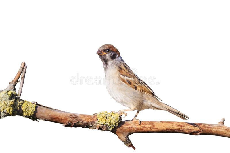Eurasian tree sparrow sitting on a branch isolated on white royalty free stock photo