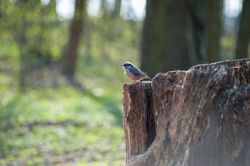 Eurasian tree sparrow sitting on a stump royalty free stock photo