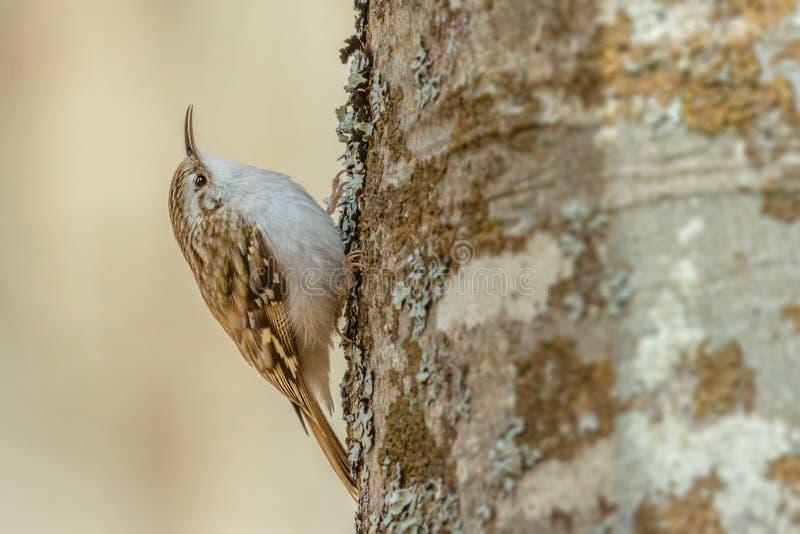 Eurasian treecreeper - Certhia familiaris royalty free stock photos