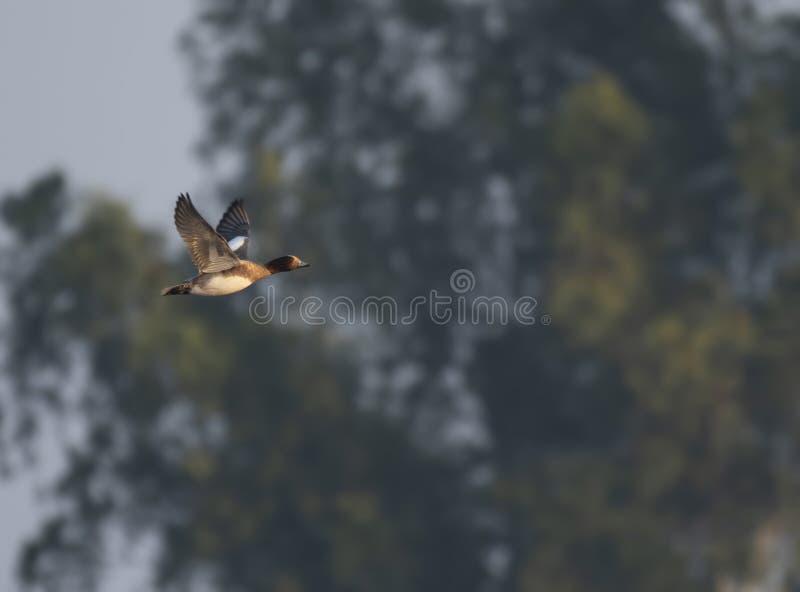 Eurasian wigeon flying stock photo
