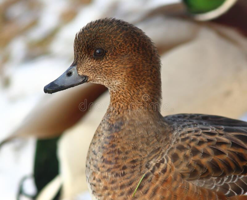 Eurasian Wigeon or  Widgeon /Mareca penelope/ female. Duck collects food in the snow. Close-up portrait of a duck stock photo