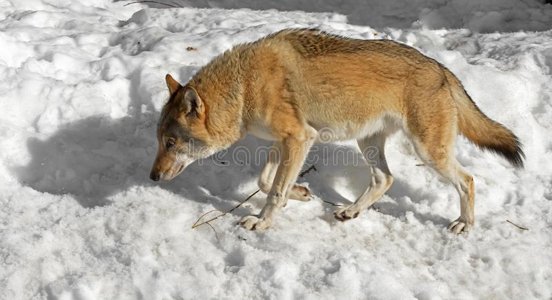 Eurasian wolf Canis lupus lupus follows trail hunting.  royalty free stock photo
