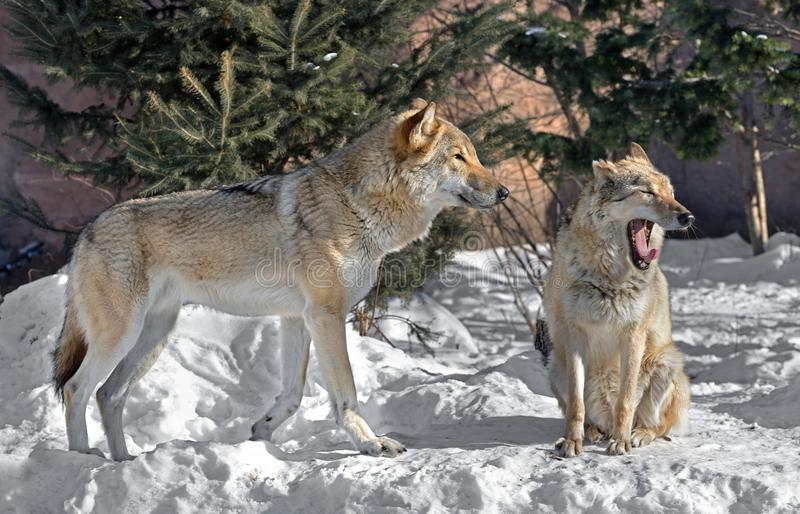 Eurasian wolf Canis lupus lupus. Pair of wolves royalty free stock photo