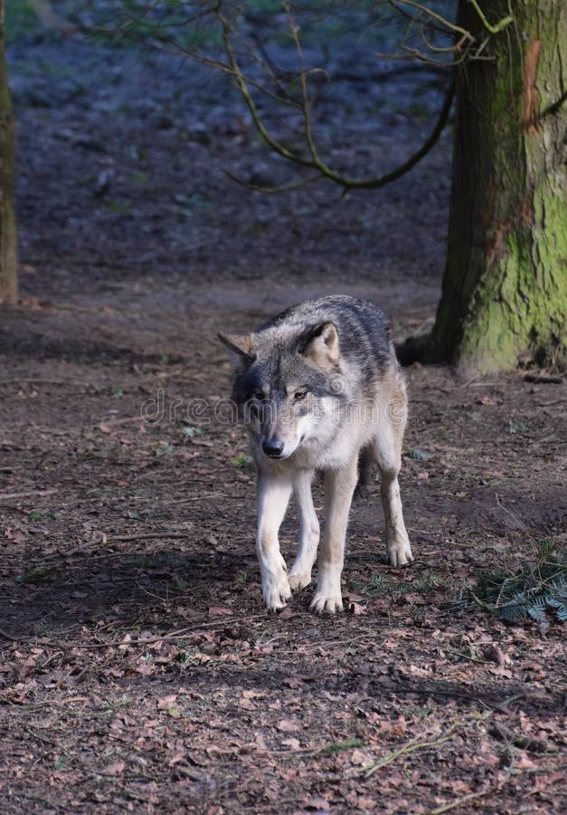 Eurasian Wolf in Forest Trees. A grey Eurasian wolf walking through forest trees - vertical orientation royalty free stock images