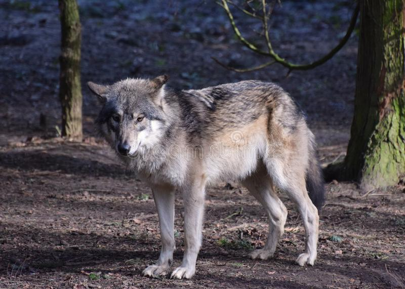 Eurasian Wolf Portrait. Lupus Grey. A European / Eurasian Wolf standing in woodland amongst trees stock photos