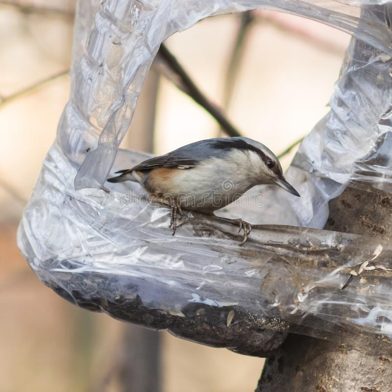 Eurasian or wood nuthatch, Sitta europaea, close-up portrait at bird feeder, selective focus, shallow DOF.  stock photo