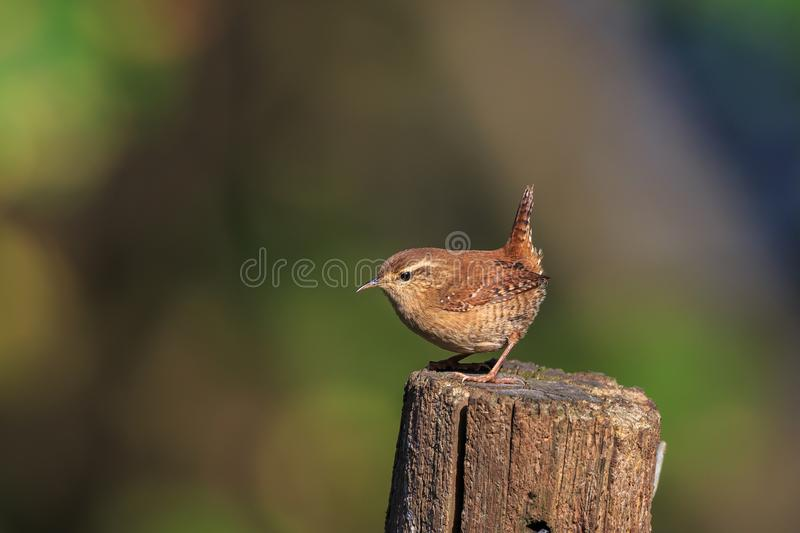 An Eurasian wren on a garden post. The Eurasian wren is a very small bird, and the only member of the wren family Troglodytidae found in Eurasia and Africa royalty free stock images