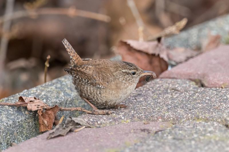Eurasian wren with catch in beak with blurred background. Eurasian wren Troglodytes troglodytes. Small, stump-tailed mouse-like brown songbird sitting on the stock photo