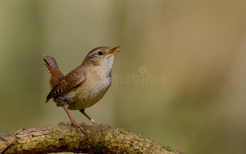 Eurasian Wren - Troglodytes troglodytes. In the coniferous forest in spring stock images