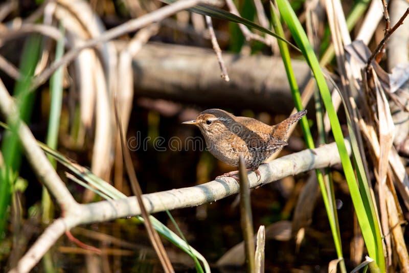 Eurasian wren Troglodytes troglodytes royalty free stock photography