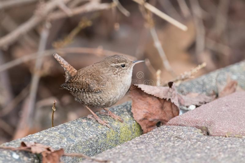 Eurasian wren sitting on sidewalk with a brown blurred background. Eurasian wren Troglodytes troglodytes. Small, stump-tailed mouse-like brown songbird royalty free stock images