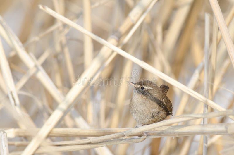 Eurasian Wren (Troglodytes troglodytes). On reed royalty free stock photography
