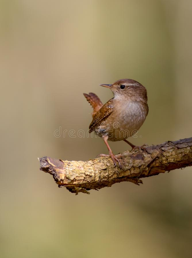 Eurasian Wren - Troglodytes troglodytes. In the coniferous forest in spring royalty free stock photography