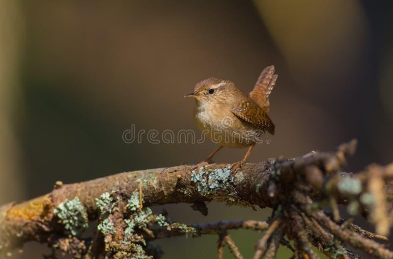 Eurasian Wren - Troglodytes troglodytes. In the coniferous forest in spring royalty free stock image