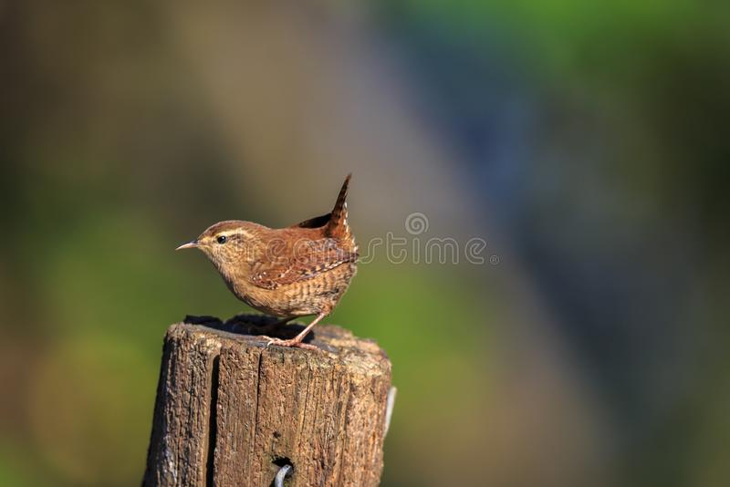An Eurasian wren on a garden post. The Eurasian wren is a very small bird, and the only member of the wren family Troglodytidae found in Eurasia and Africa stock photography
