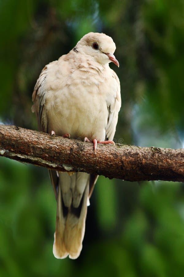 Eurasianen försåg med krage duvan, Streptopeliadecaoctoen, fågelsammanträde på filialen Dykt i skogen dök i naturlivsmiljön Duvas royaltyfri fotografi