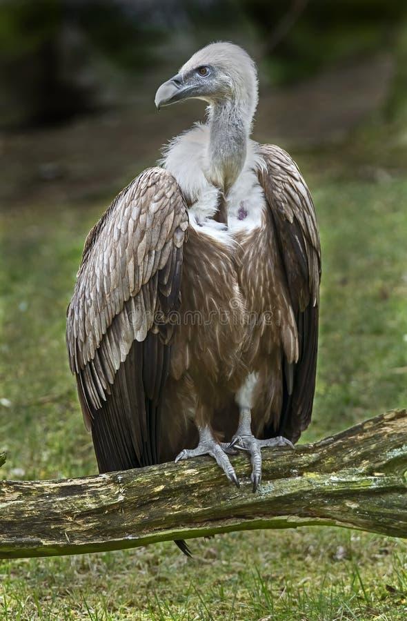 eurasianfulvusgriffon gyps latinskt namn arkivfoto
