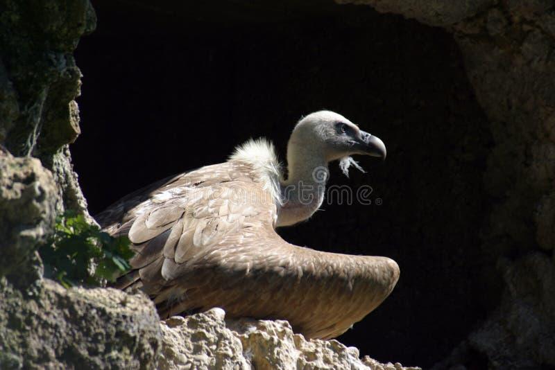 eurasianfulvusgriffon gyps latinskt namn fotografering för bildbyråer