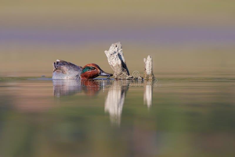 Eurasiankricka eller gemensam kricka (Anascrecca). arkivfoto