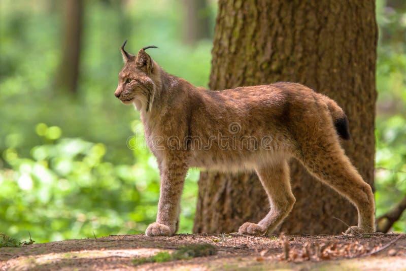 Eurasianlodjur fotografering för bildbyråer