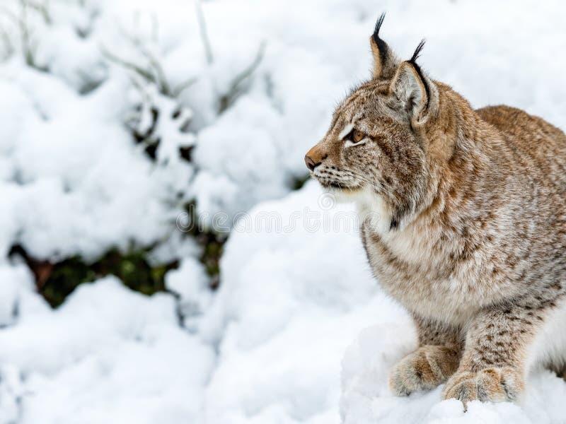 Eurasianlodjur, lodjurlynnx och att sitta i snön som ser till det vänstert, profil royaltyfria bilder
