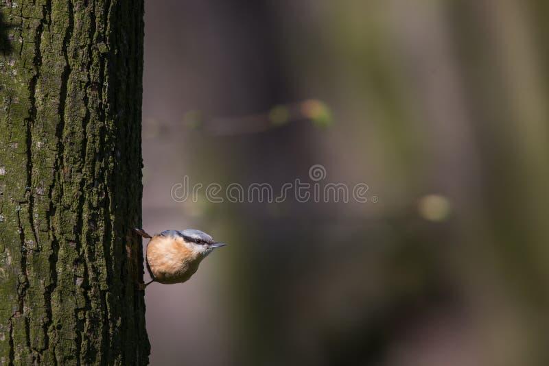 Eurasiannuthatch, wood nuthatch royaltyfri bild