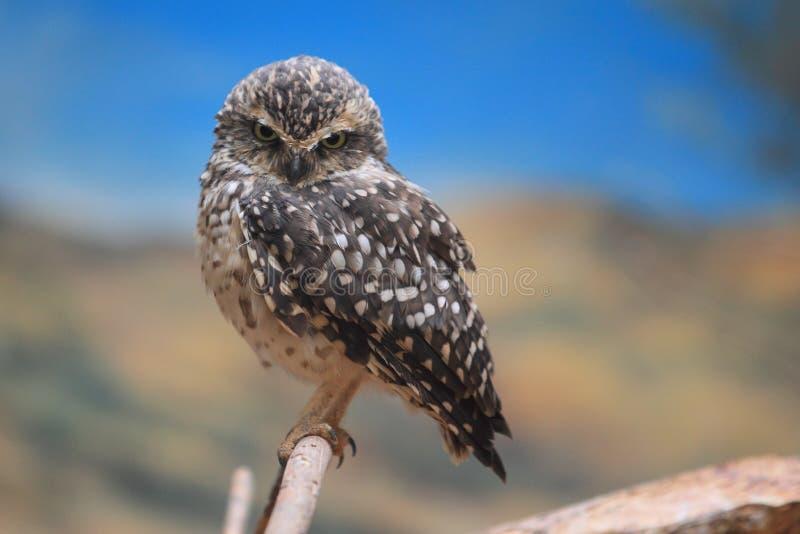 EurasianPygmyOwl arkivfoto