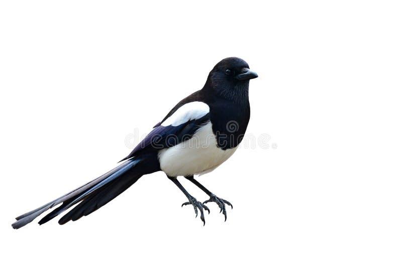 Eurasianskatafågel arkivfoto