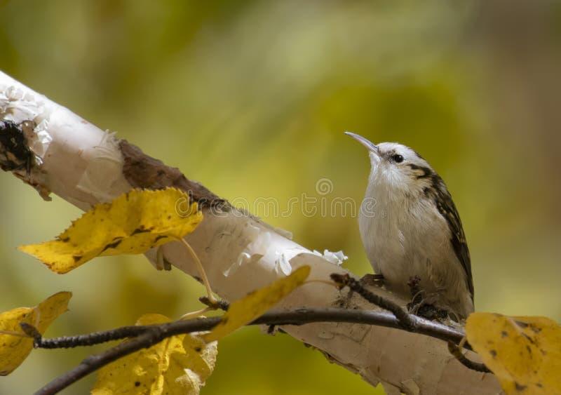 Eurasiantreecreeper på träd fotografering för bildbyråer