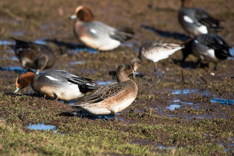 EurasianWigeon, Wigeon, and, Anas Penelope royaltyfria foton