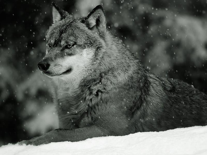 eurasianwolf royaltyfri bild