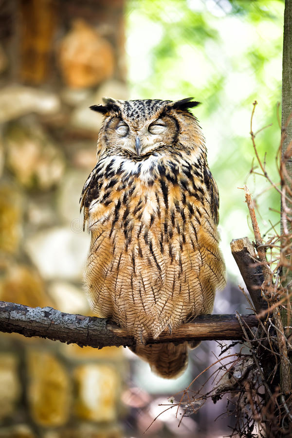 Eurasien Eagle Owl photographie stock libre de droits