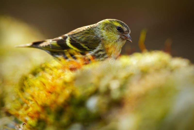 Eurasien Siskin, spinus de Carduelis, oiseau de chanson se reposant sur la branche avec le lichen jaune, fond clair, belle lumièr photographie stock