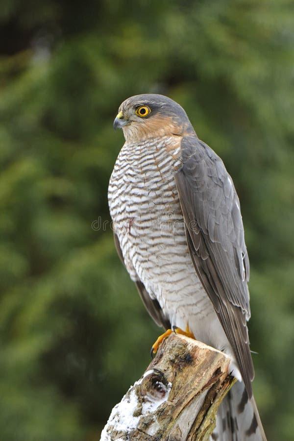 Eurasien Sparrowhawk image stock