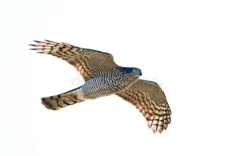 Eurasien Sparrowhawk (Accipiter Nisus) images libres de droits