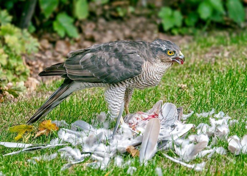 Eurasien Sparrowhawk - nisus d'Accipiter avec la proie images stock