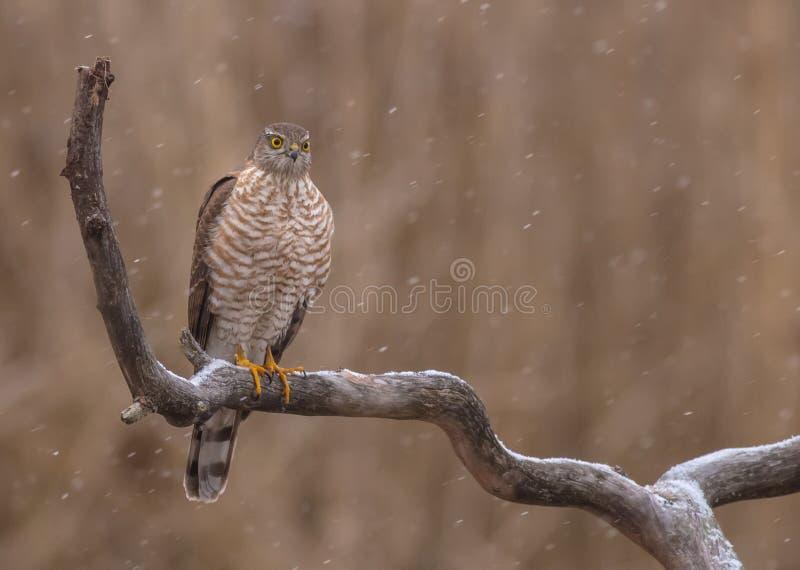 Eurasien Sparrowhawk - Sperber - nisus d'Accipiter images libres de droits